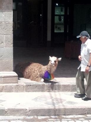 Lama i Cusco