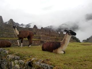 Lamaer på Machu Picchu