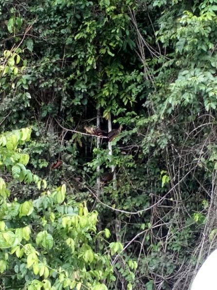 Hoatzinfugl i trærne
