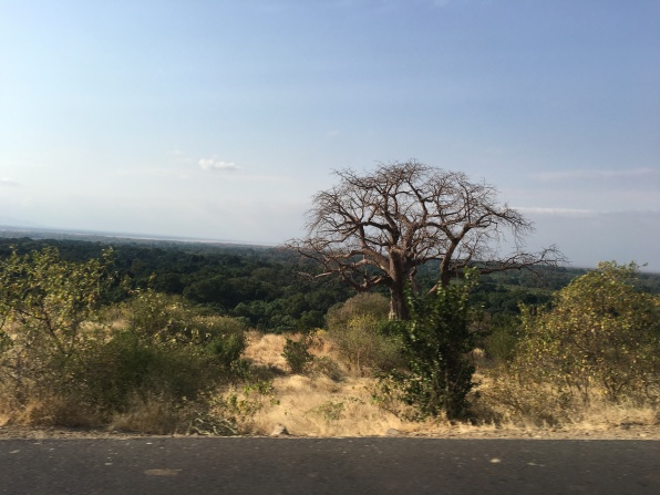 Baobabtre i Manyara