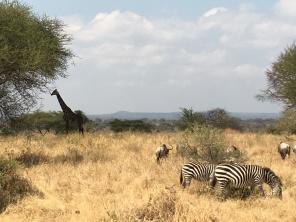 Sebra, gnu og giraff