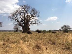 Elefanter og Baobabtre