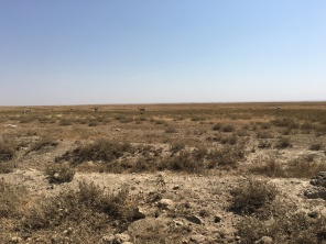 Gazeller på savannen