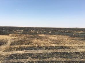 Thomson-gazeller