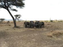 Sovende elefanter