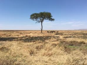 Antiloper under tre