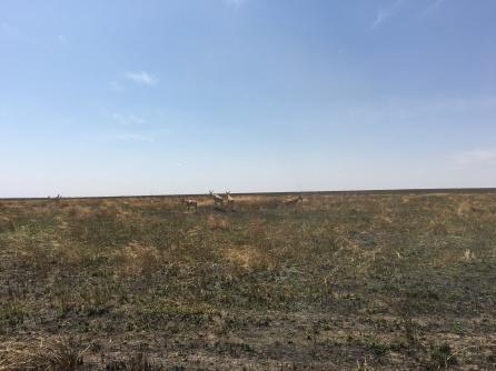 Hartebeest-antiloper