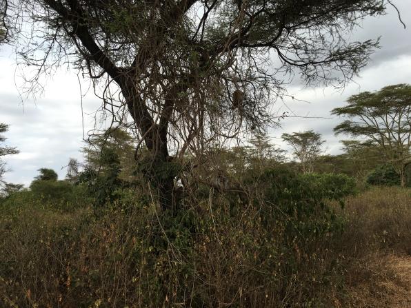 Apekatter i treet