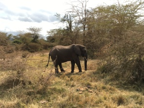 Elefant i bushen